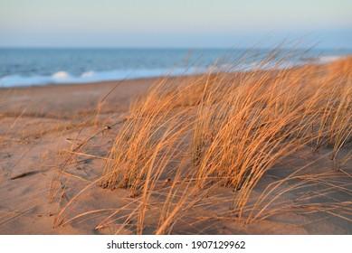 Baltic sea shore at sunset. Sand dunes, plants (Ammophila) close-up. Soft sunlight, golden hour. Environmental conservation, ecotourism, nature, seasons. Warm winter, climate change. Macrophotography