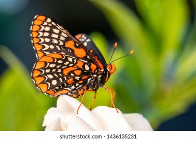 Baltimore Checkerspot butterfly macro shot