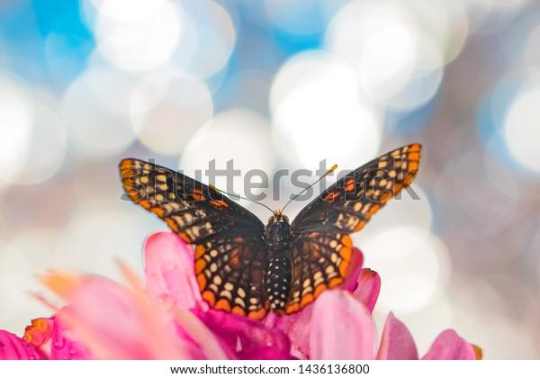 Baltimore Checkerspot butterfly macro shot