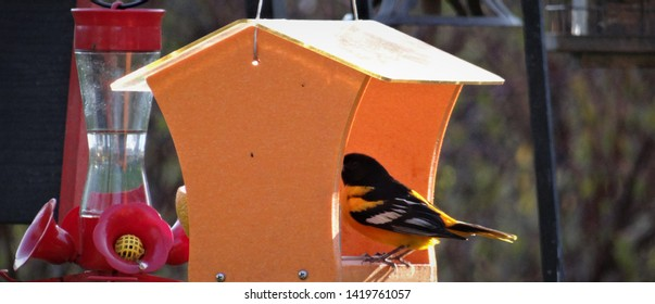 Baltimore Oriole bird feeding on grape jelly and oranges at the feeder.