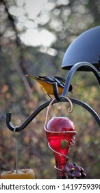 Baltimore Oriole bird waiting patiently for dinner at the grape jelly and orange slice feeding station.