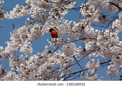 Baltimore Oriole in Blossoming Cherry Tree