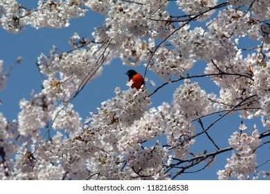 Baltimore oriole in the branches of blooming cherry blossom (sakura). High Park, Toronto, Canada.