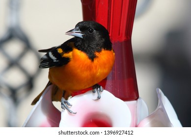 Baltimore Oriole Close Up on Feeder