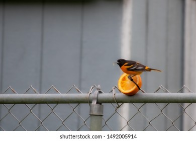 Baltimore oriole eating an orange half attached to a fence; birdfeeding