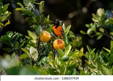 Baltimore Oriole eating oranges in Costa Rica, its scientific name is Icterus galbula.