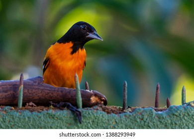 Baltimore Oriole feeding on a banana on a nailed concrete fence in Costa Rica, its scientific name is Icterus galbula.