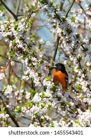 A Baltimore Oriole forages for a meal in a flowering crabapple tree at Toronto, Ontario's popular Ashbridges Bay Park during spring migration.