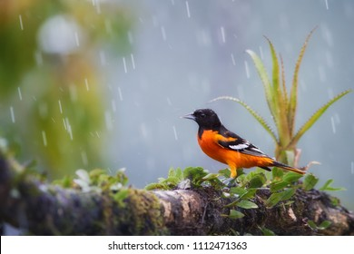 Baltimore oriole, Icterus galbula, bright orange, north american migratory bird wintering in Costa Rican rainforest. Black headed Oriole on mossy twig in heavy rain,  covered by rain drops.