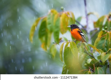 Baltimore oriole, Icterus galbula, bright orange, north american migratory bird wintering in Costa Rican rainforest. Black headed, orange oriole among leaves in tropical rain covered by rain drops.