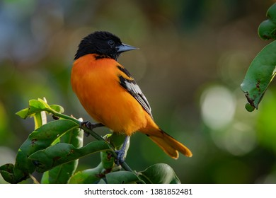 Baltimore Oriole (Icterus galbula) searching for food.