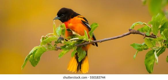 The Baltimore Oriole.  The Baltimore Oriole is known for its striking orange plumage.