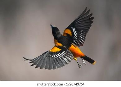 Baltimore Oriole male in flight