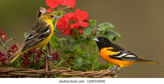 Baltimore Oriole in Minnesota Agnieszka Bacal.