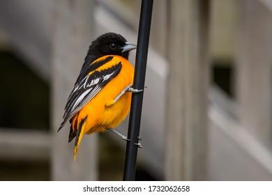 Baltimore Oriole on bird feeder