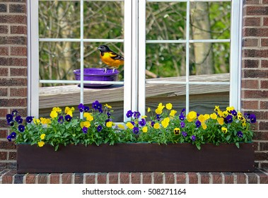 Baltimore oriole on purple bowl viewed through window with pansies in planter box