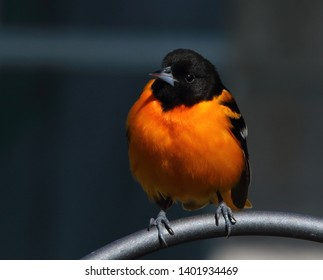 Baltimore Oriole Perched Close Up