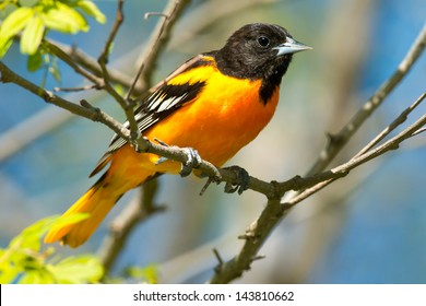 Baltimore Oriole perched on a branch.