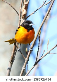 Baltimore Oriole perched in tree