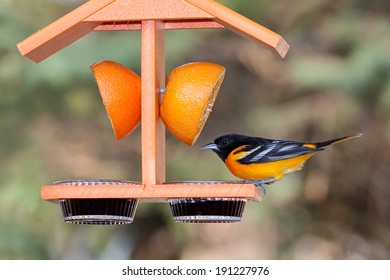 A baltimore oriole sits atop an orange colored feeder. Dinner options include, a juicy orange and sweet grape jelly. Background of shallow focus green tree leaves and tan hues of the tree branches.