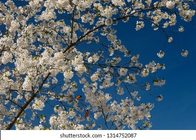 Baltimore Orioles in a Cherry Tree full of blossoms against a blue sky