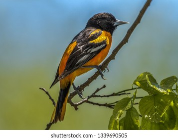 Baltimore Orioles gorging during Spring migration at Magee Marsh Wildlife Area.