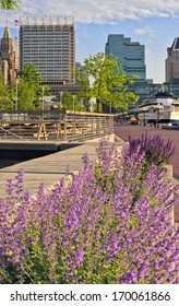 Baltimore's Inner Harbor Harbour framed by springtime flowers, including catmint Nepeta faassenii and other purple blooms, with the city skyline, Maryland, USA