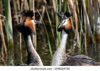 Baltzing grebes in the spring