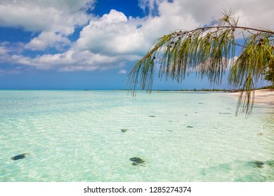 Bambarra Beach, Middle Caicos, is lined with Casuarina trees (also known as Australian Pine)