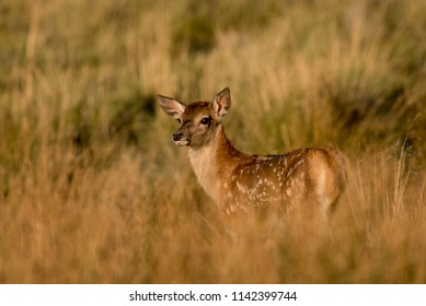 Bambi calf of red deer.
