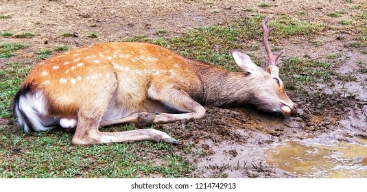 It is a Bambi deer rolling in the mud