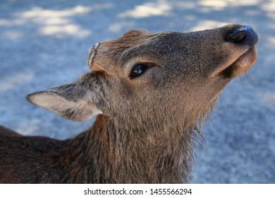 Bambi fawn in Nara Park