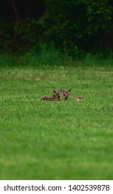 Bambi Twins on a forest Lightning