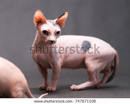 Munchkin Bambino Gray Hairless Cat Pictures Www Picturesboss Com