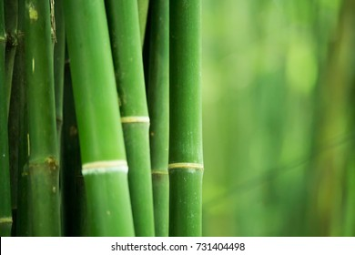 Bamboo. Bamboos Forest. bamboo design over blurred background. Space for your text