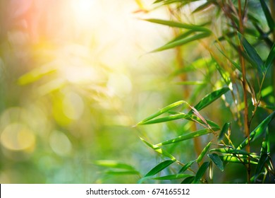 Bamboo. Bamboos Forest. Growing bamboo border design over blurred sunny background. Closeup. Japanese garden design, gardening. Spa, Zen concept. Border art. Space for your text. Nature backdrop