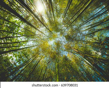 Bamboo (Bambuseae) trees perspective seen from below with fisheye lens, dreamy faded look
