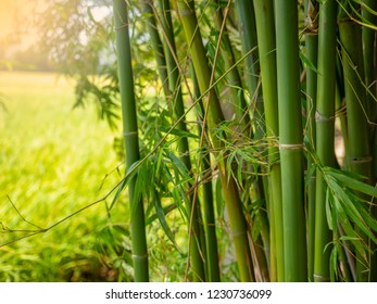 Bamboo branch in bamboo forest , Beautiful natural background.