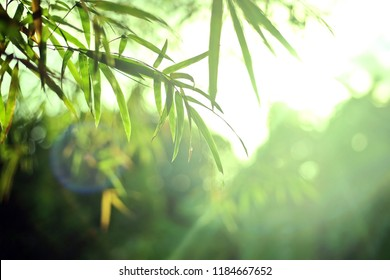 bamboo branch in bamboo forest, Close Up nature view leaf on blurred and bokeh greenery background, beautiful green nature background. Selective focus.