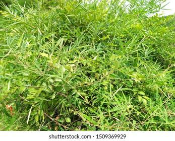Bamboo bushes (Shibataea lancifolia) in village