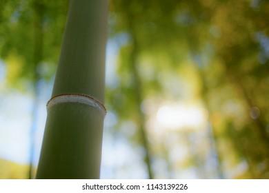 Bamboo close-up in Tokyo, Japan.