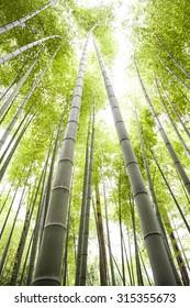 Bamboo field