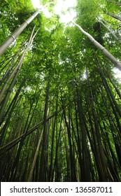 Bamboo Forest along Manoa Falls Trail, Oahu, Hawaii