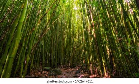 Bamboo forest along the Pipiwai trail in Kipaula, Maui, Hawaii, United States