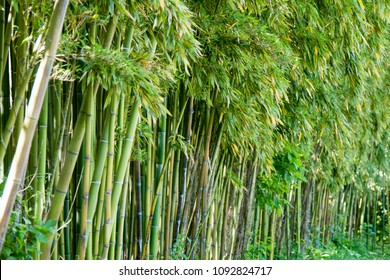 Bamboo forest in Anduze France