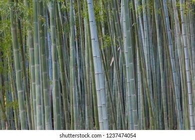 Bamboo forest at Arashiyama, Japan
