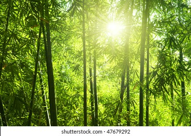 Bamboo forest. Asian Bamboo forest with morning sunlight.