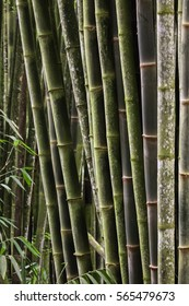 Bamboo forest background, Atlantic forest, Brazil