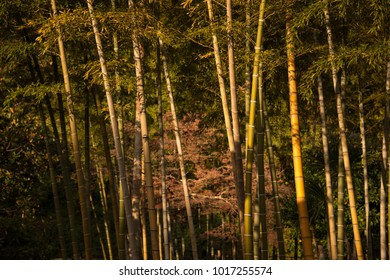 Bamboo Forest Being Lit by the Sunlight