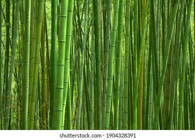 Bamboo forest green background - Japan nature. Sagano Bamboo Grove of Arashiyama.